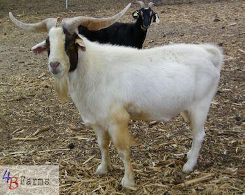 Kiko boer cross goats - photo#1