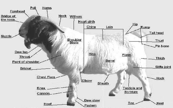 Meat Cut Pictures Goat