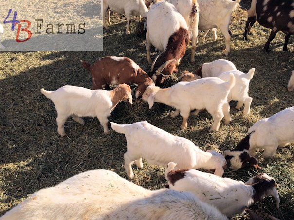 Boer Goats - 4B Farms Grinnell, KS